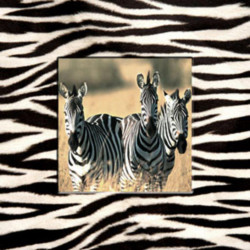 Obraz na plátne 30x30 Zebry