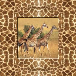 Obraz na plátne 30x30 Žirafy