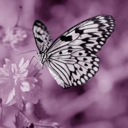 Obraz na plátne 30x30 Motýľ violet I.