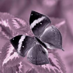 Obraz na plátne 30x30 Motýľ violetII.