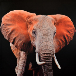 Obraz na plátne 70x70 Slon Indický